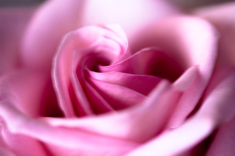 Rosa_Rose_Herz_1000