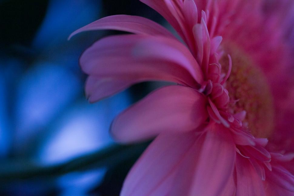 Gerberer_Pink